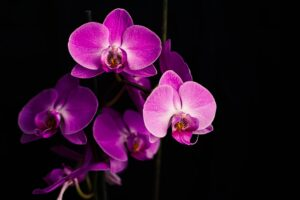 purple moth orchids in bloom